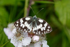 Marbled White butterfly (Melanargia galathea) on pink flower. Top view of a Marbled White butterfly (Melanargia galathea) on pink flower Stock Image