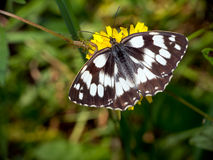 Marbled White butterfly - Melanargia galathea Stock Images