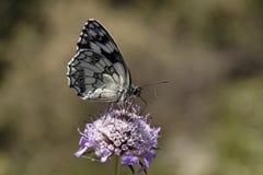 Marbled White butterfly, Melanargia galathea Royalty Free Stock Photos