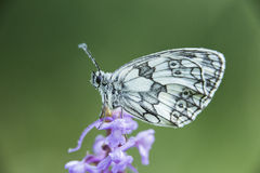 Marbled White Butterfly Royalty Free Stock Images
