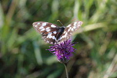 Marbled White Butterfly Royalty Free Stock Image