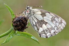 Marbled white butterfly in the rain (Melanargia galathea) with underside visible with red parasitic mite Stock Photos