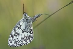 A marbled white butterfly on southampton common stock image