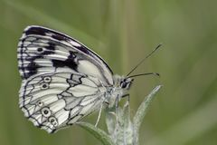 A marbled white butterfly on southampton common stock photos