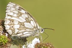 A marbled white butterfly on southampton common Stock Images