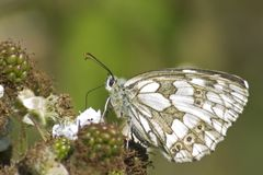 A marbled white butterfly on a blackberry on southampton common Stock Photo