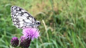 Marbled white butterfly stock footage