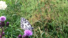 Marbled white butterfly stock video