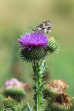 Marbled white butterfly on a thistle flower. Stock Photos