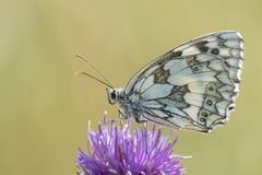 A marbled white butterfly on Southampton Common royalty free stock photo