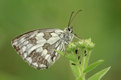 Marbled White butterfly is on your green grass. Green background, green grass and black little insects. A butterfly with black, white and copper colors. This royalty free stock photography