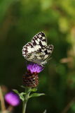 Marbled White Butterly Stock Photography