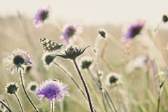 Marbled white Royalty Free Stock Images