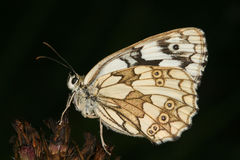 Marbled White (Melanargia galathea) Royalty Free Stock Images