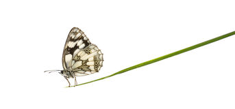 Marbled white, Melanargia galathea Royalty Free Stock Photos