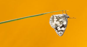 Marbled white, Melanargia galathea Stock Photo
