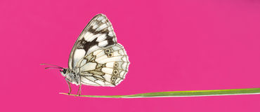 Marbled white, Melanargia galathea Royalty Free Stock Images