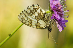 The marbled white - Melanargia galathea stock image