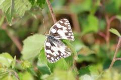 Marbled White   (Melanargia galathea) Stock Photo