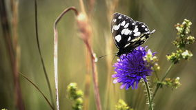 Marbled White - Melanargia galathea stock footage