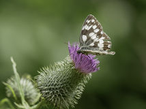 Marbled White Royalty Free Stock Photography