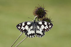 Marbled white, Melanargia galathea Royalty Free Stock Photo