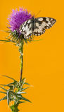 Marbled white, Melanargia galathea Stock Images