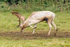 Marca del olor del dólar de los ciervos en barbecho Fotografía de archivo libre de regalías
