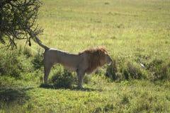 Marca masculina del olor del león Fotos de archivo