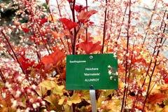 Marcador de la planta para el Saxifragaceae Heuchera mermelada fotografía de archivo