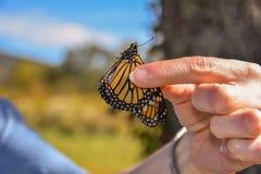 Marcar las mariposas de monarca con etiqueta en Tennessee Fotografía de archivo