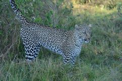 Marcatura del leopardo nelle ombre Tom Wurl Fotografia Stock