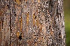Marcatura dell'artiglio di orso Fotografie Stock