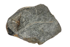 Marcellus Shale Fossil Stock Images