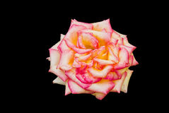 Marcescent but still beautiful rose Stock Image