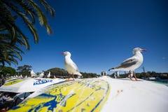 Marché australien de fruits de mer de mouette Photographie stock libre de droits