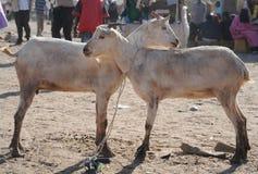 Marché d'élevage de ?attle Image stock