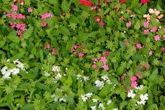 Marché de fleur de verveine de jeunes plantes de la boîte Fond photographie stock