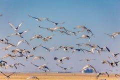 Free MARCH 7, 2017 - Grand Island, Nebraska -PLATTE RIVER, UNITED STATES Migratory Sandhill Cranes Fly Over Cornfield At Sunrise As Par Stock Photos - 91996353