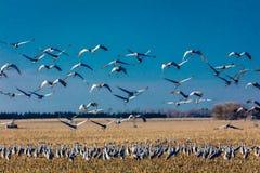 Free MARCH 7, 2017 - Grand Island, Nebraska -PLATTE RIVER, UNITED STATES Migratory Sandhill Cranes Fly Over Cornfield At Sunrise As Par Royalty Free Stock Photos - 91996548