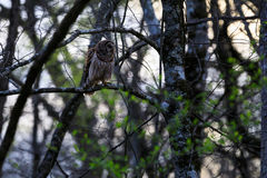 March 2017,  Barred Owl, Strix Varia, perched on a tree limb in Bald Knob Federal Wildlife Reserve, in Bald Knob, Arkansas in the. Henry Gray Hurricane WMA Stock Photo