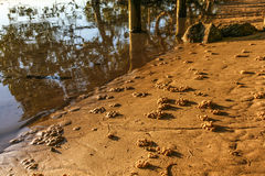 March crab burrows under mangroves Stock Images