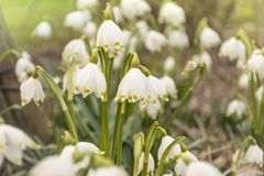 March cup, Leucojum vernum in spring in backlight royalty free stock photo