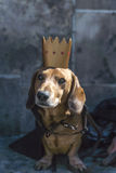 March of dachshunds Royalty Free Stock Photography