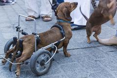 March of dachshunds Stock Image