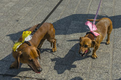 March of dachshunds 2016. Every year, at the end of the summer, takes place March of dachshunds  the name of this years March: the length is important. It is the Stock Photography
