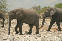 March of the elephants. A bunch of elephants making a real run for it stock photography