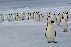 March of Emperor penguins. Nov 2005 - Cape Washington (Ross sea/Antarctic Royalty Free Stock Image