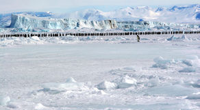 March of emperor penguins. Marche des manchots empereurs Royalty Free Stock Photos