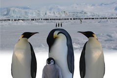 March of emperor penguins Stock Photos